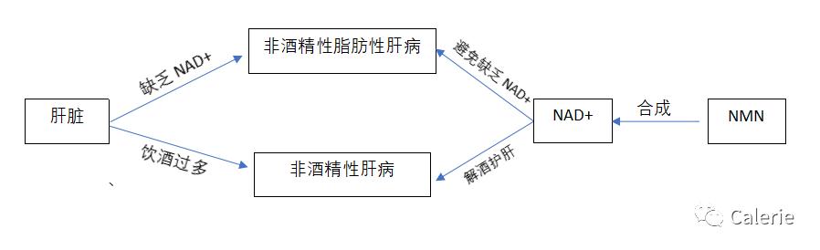 NMN与肝脏健康插图